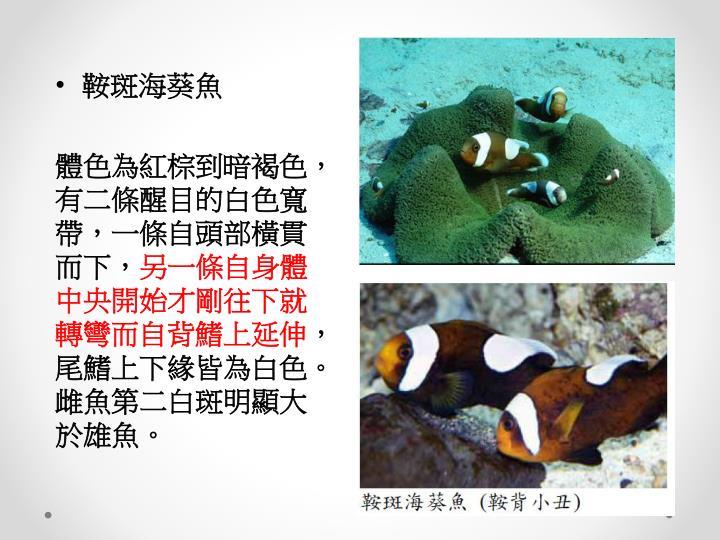 鞍斑海葵魚