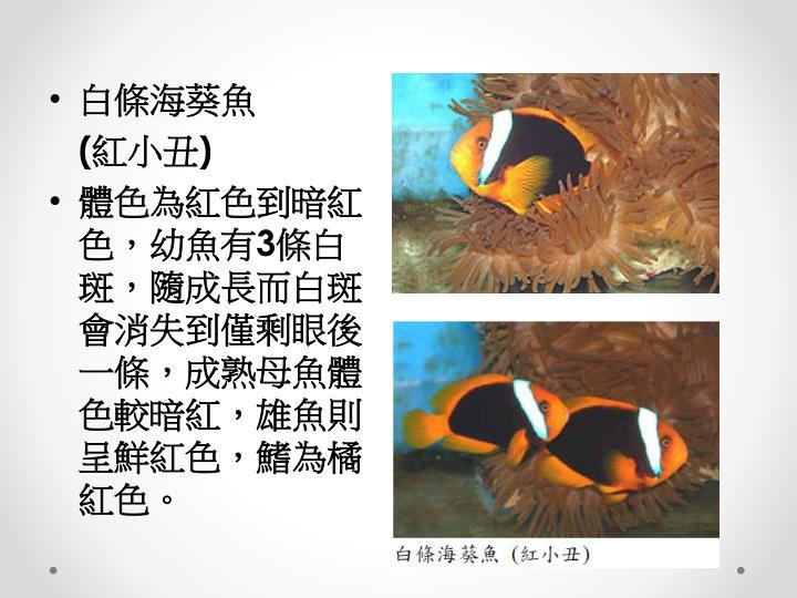 白條海葵魚