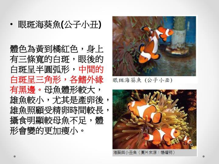 眼斑海葵魚