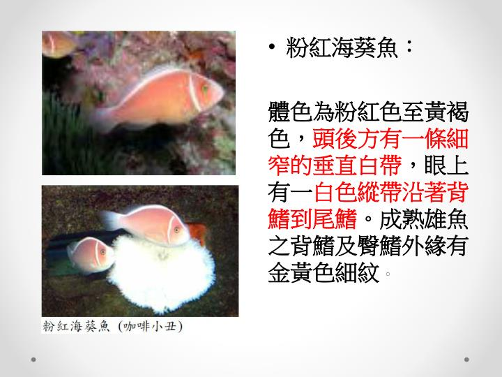 粉紅海葵魚: