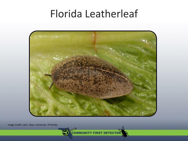 Florida Leatherleaf
