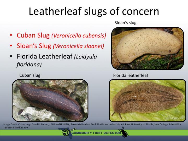 Leatherleaf slugs of concern