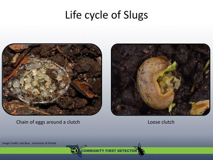 Life cycle of Slugs