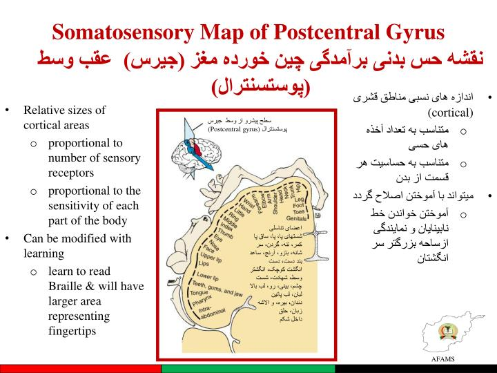 Somatosensory Map of Postcentral Gyrus