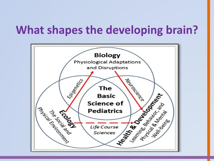 What shapes the developing brain