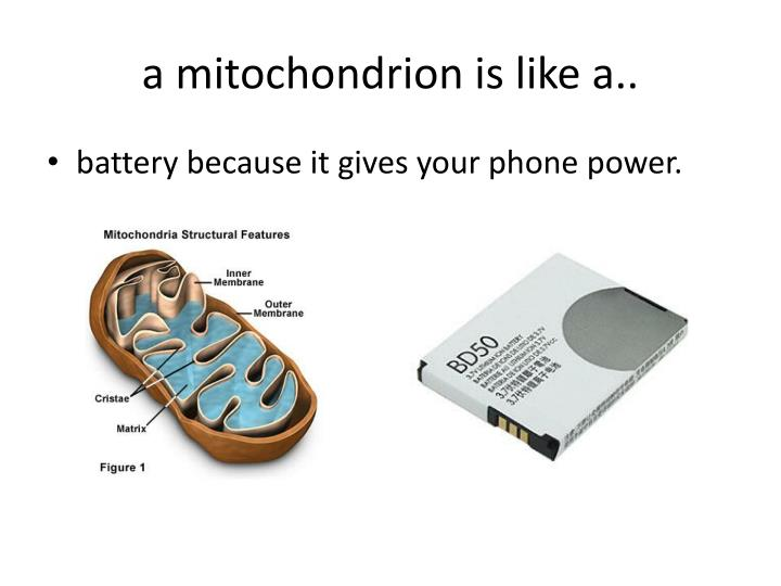 a mitochondrion is like a..