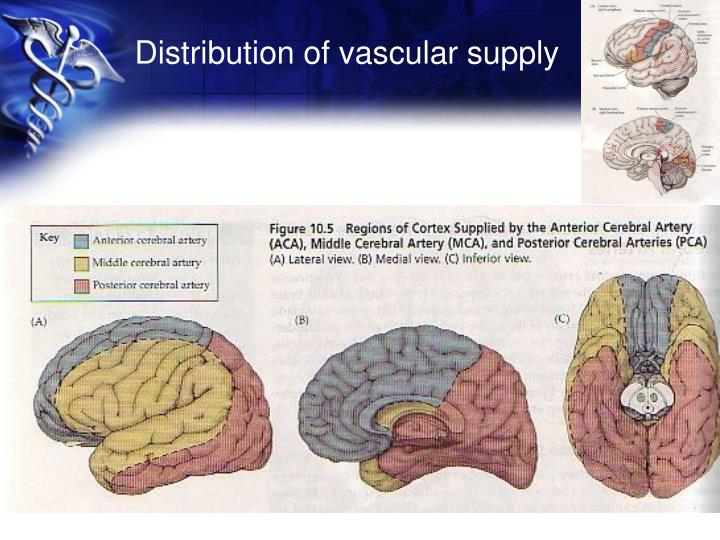 Distribution of vascular supply