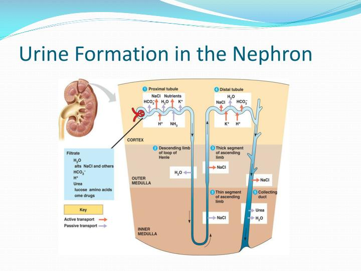 Urine Formation in the Nephron