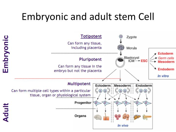 Adult Stem Cell Embryonic Stem Cell 62