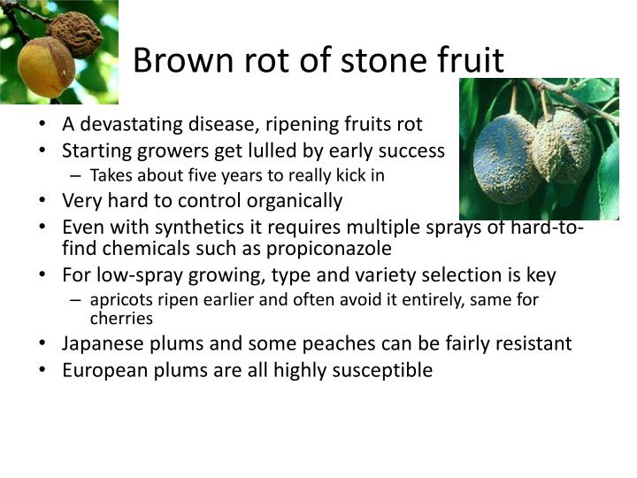Brown rot of stone fruit
