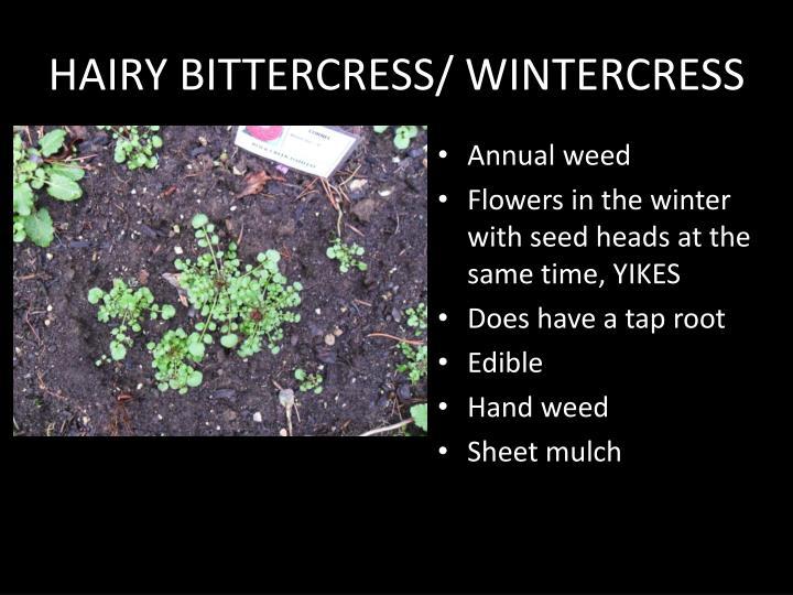 HAIRY BITTERCRESS/ WINTERCRESS