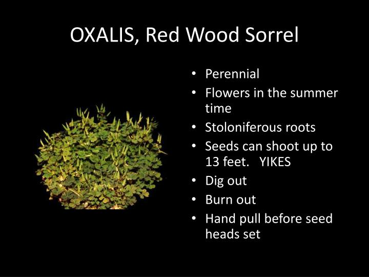 OXALIS, Red Wood Sorrel