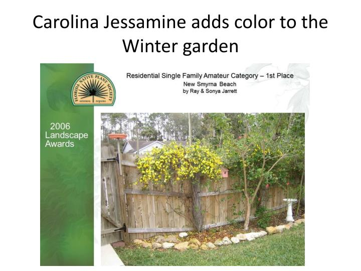 Carolina Jessamine adds color to the Winter garden