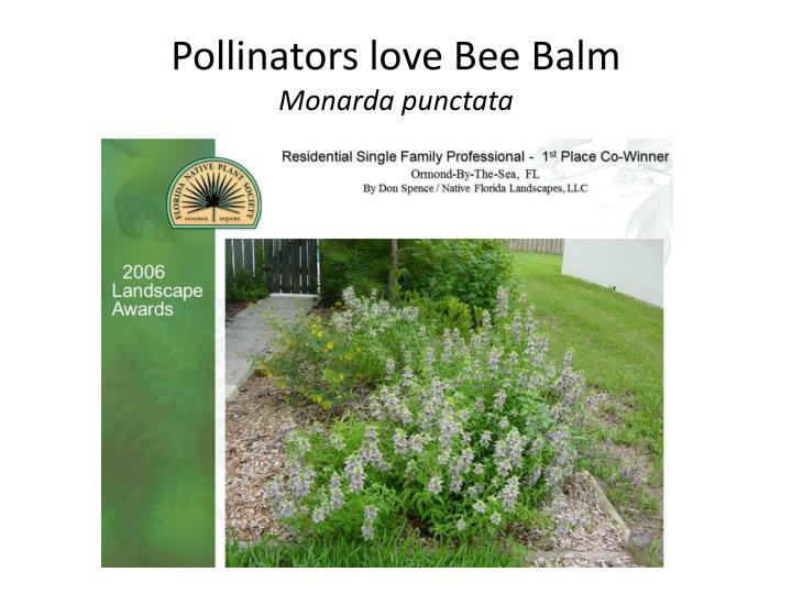 Pollinators love Bee Balm