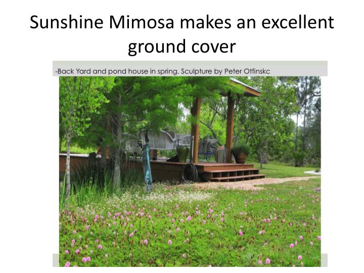 Sunshine Mimosa makes an excellent ground cover