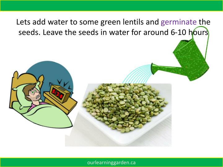 Lets add water to some green lentils and