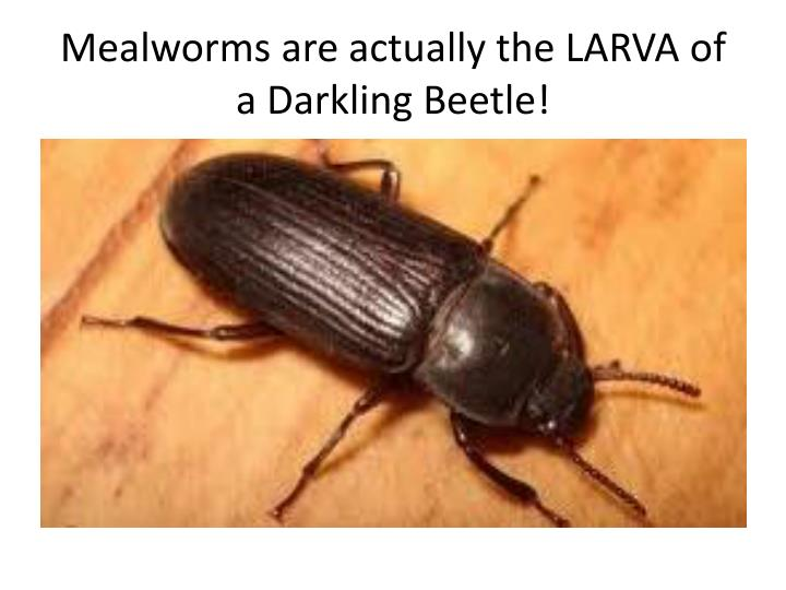 Mealworms are actually the LARVA of a Darkling Beetle!
