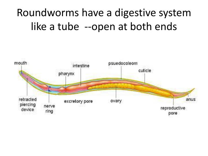 Roundworms have a digestive system like a tube  --open at both ends