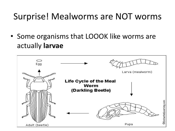 Surprise! Mealworms are NOT worms