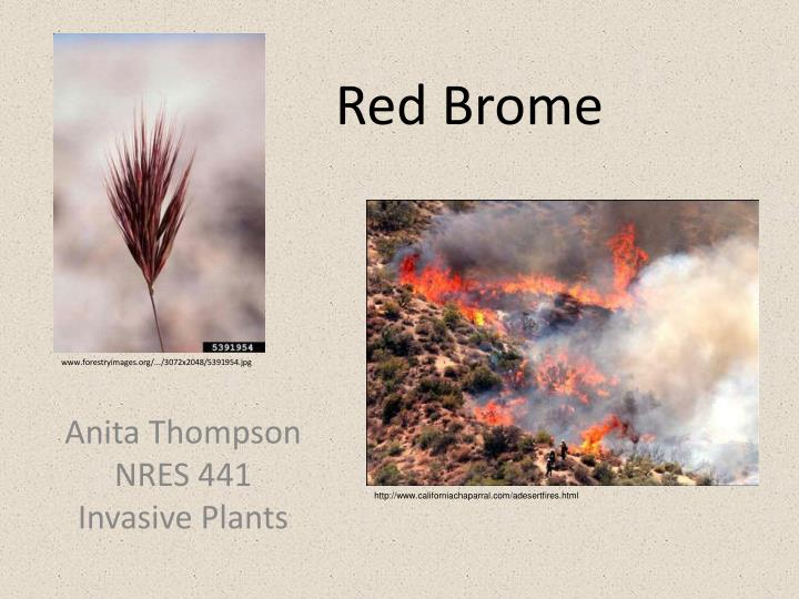 Red brome