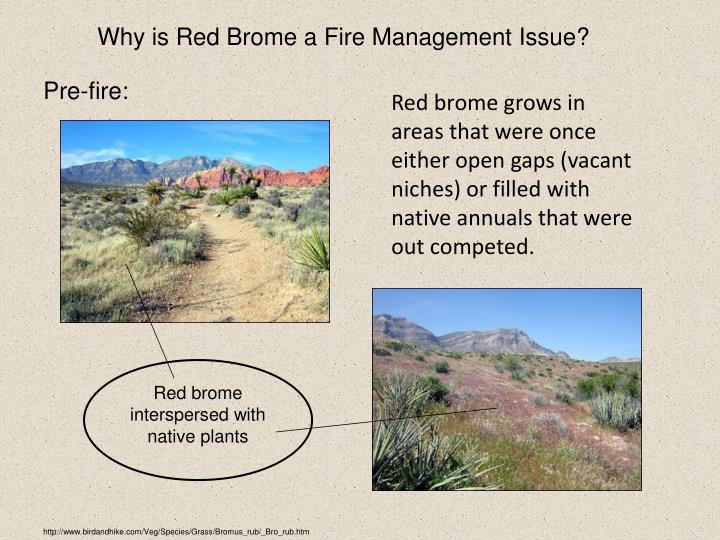 Why is Red Brome a Fire Management Issue?