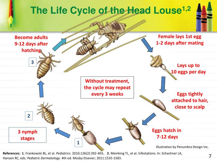 The Life Cycle of the Head Louse