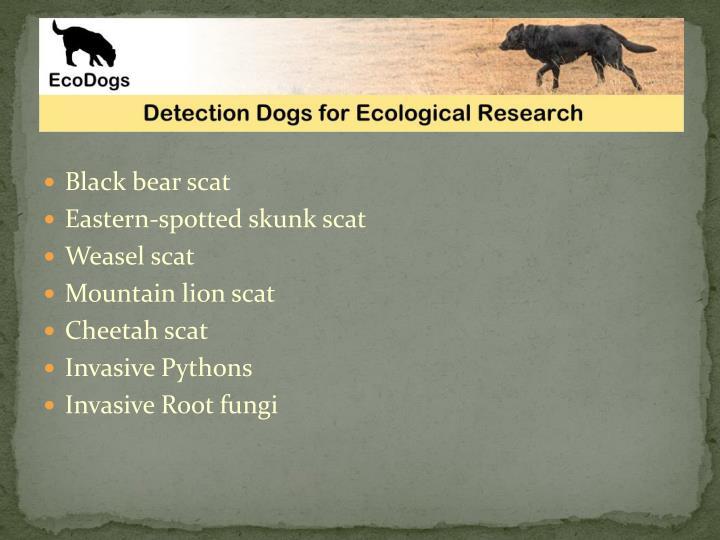 Black bear scat