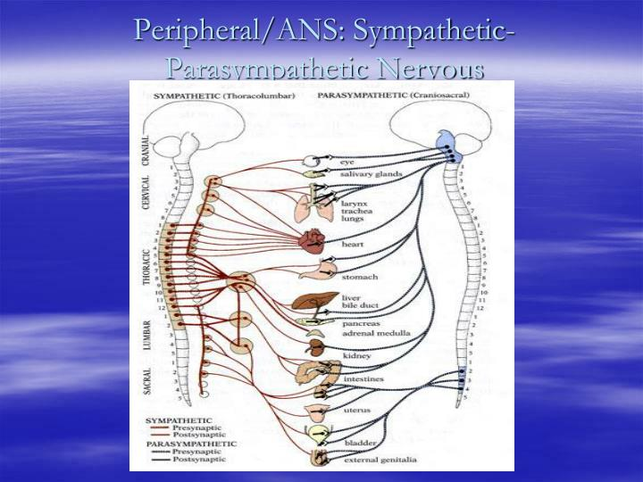 Peripheral/ANS: Sympathetic-Parasympathetic Nervous