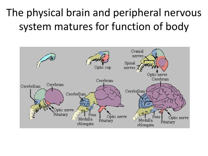 The physical brain and peripheral nervous system matures for