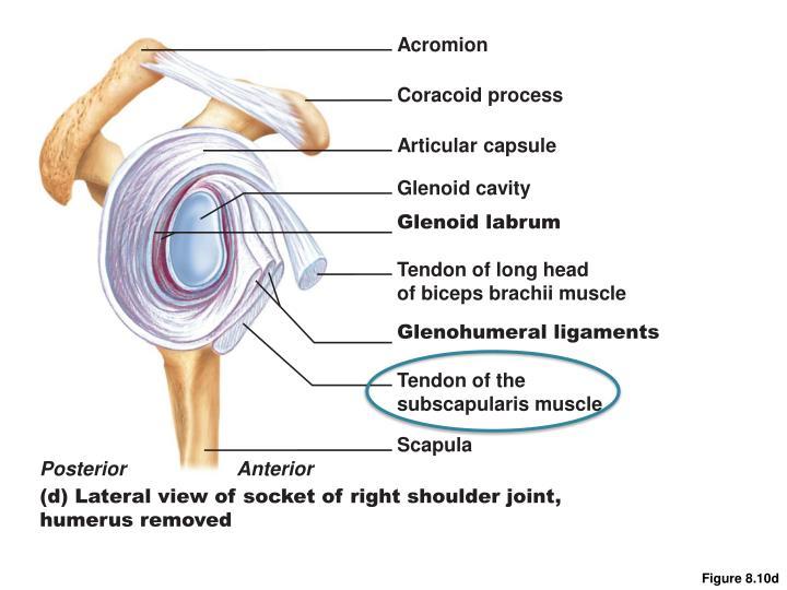 Acromion