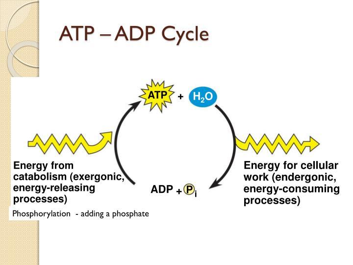 Atp Cycle Diagram Energy Cellular Respiration Diagram Energy