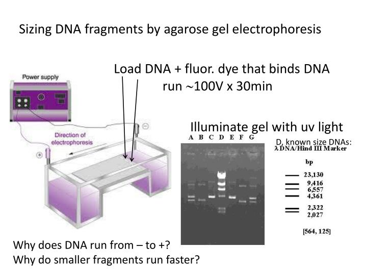 Sizing DNA fragments by