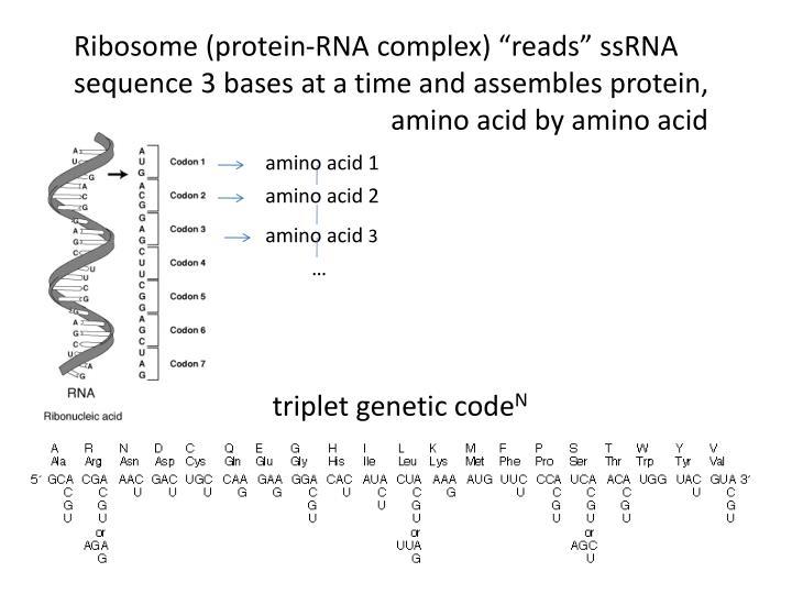 """Ribosome (protein-RNA complex) """"reads"""""""