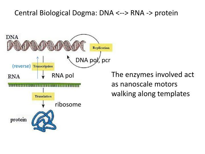 Central Biological Dogma: DNA <--> RNA -> protein