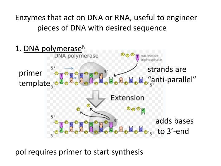 Enzymes that act on DNA or RNA, useful to engineer