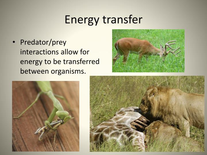 predator prey interaction A model of prey-predator interaction where the predator population is less strongly dependent on prey levels, prey density is held near its carrying capacity and predation is more likely to be influenced by risky behaviour on the part of the prey, is called predation- sensitive food hypothesis (sih, 1982 sih and more, 1990 abrams, 1991.