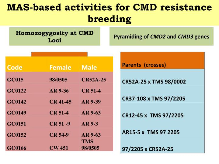 MAS-based activities for CMD resistance breeding