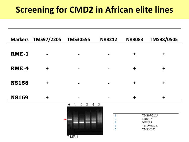 Screening for CMD2 in African elite lines