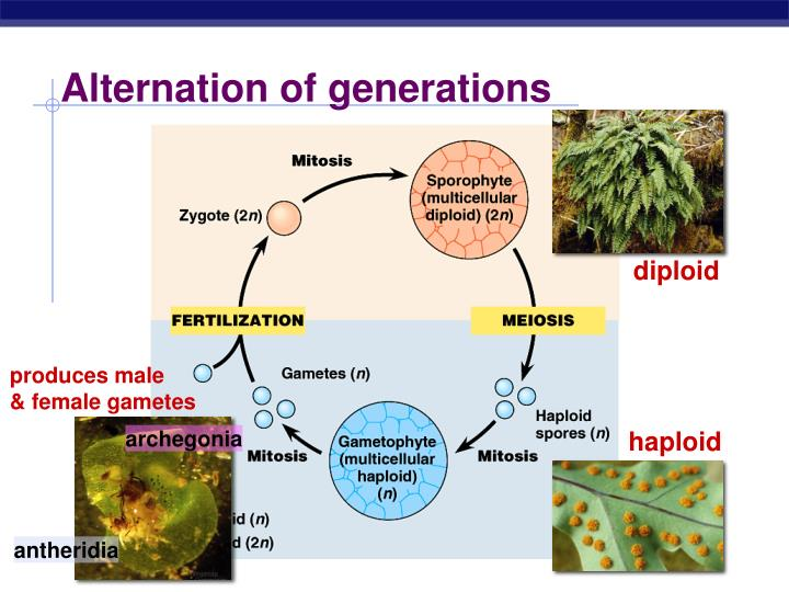 alternation of generations in ferns Alternation of generations, occurrence of two or more alternating forms in the life cycle of plants, algae, and among a small number of invertebrate animals.