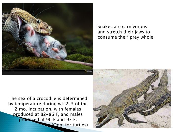 Snakes are carnivorous and stretch their jaws to consume their prey whole.