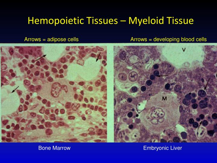 Hemopoietic
