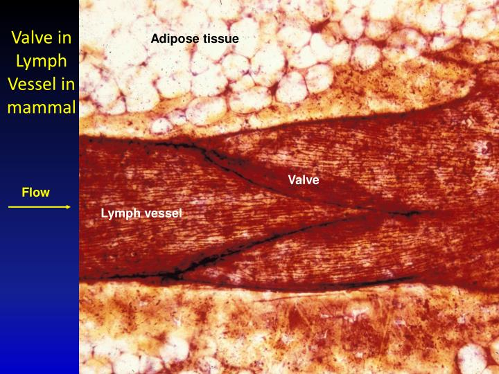 Valve in Lymph Vessel in mammal