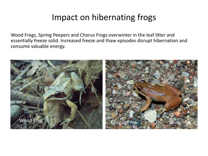 Impact on hibernating frogs