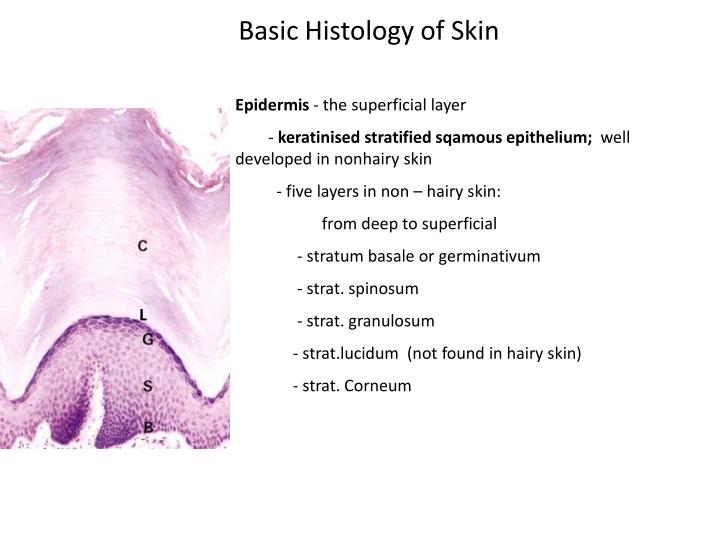 Basic Histology of Skin