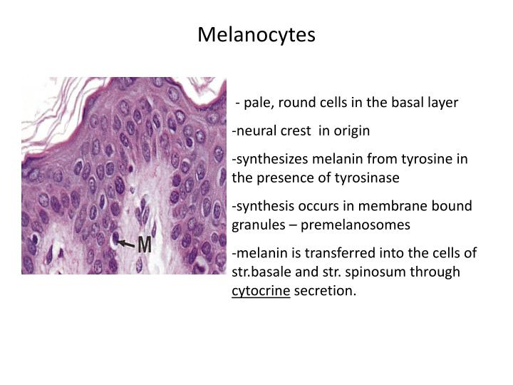 Melanocytes