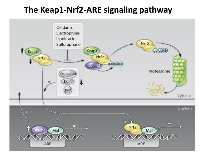The Keap1-Nrf2-ARE signaling pathway