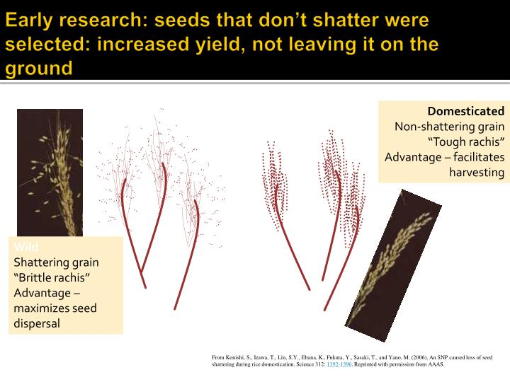 Early research: seeds that don't shatter were selected: increased yield, not leaving it on the ground