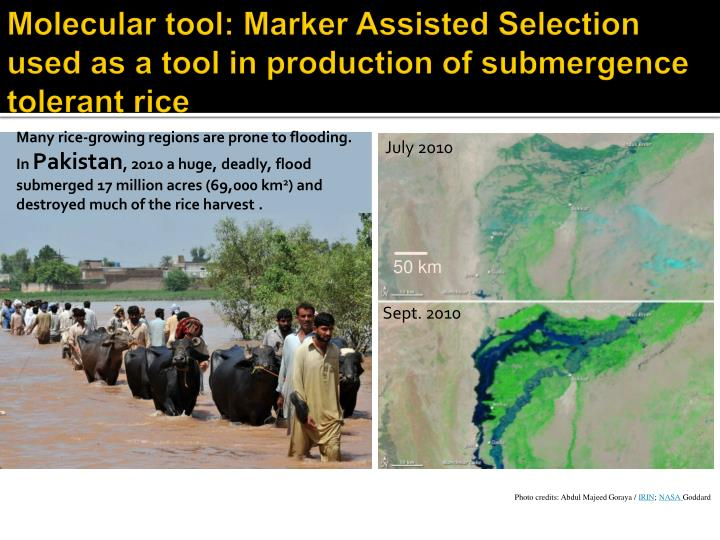 Molecular tool: Marker Assisted Selection used as a tool in production of submergence tolerant rice