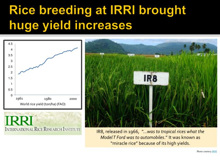 Rice breeding at IRRI brought huge yield increases