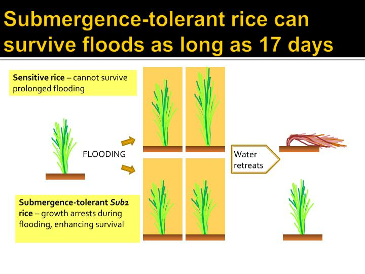 Submergence-tolerant rice can survive floods as long as 17 days